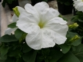 Balta petunija
