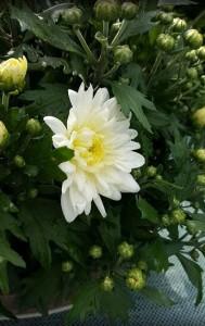 chrizantemos baltos parduodu VIlnius gera kaina