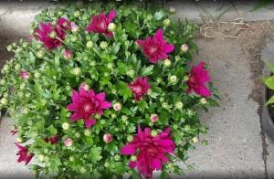 chrizantemos bordines vilnius gera kaina