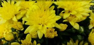 geltonos chrizantemos vilnius kaina
