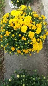 geltonos chrizantemos vilnius